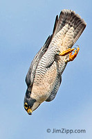 Peregrine stooping